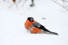 Bullfinch Stock Photos