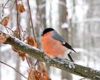 Bullfinch Royalty Free Stock Photo