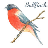 The bullfinch sits on the tree branch. Watercolor vector illustration on white background Royalty Free Stock Image