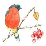 The bullfinch sits on the tree branch. Watercolor vector illustration on white background Royalty Free Stock Photos