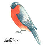 The bullfinch sits on the tree branch. Watercolor vector illustration on white background Royalty Free Stock Images
