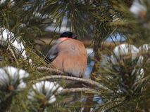 Bullfinch. Sitting on a Christmas tree branch stock images