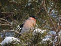 Bullfinch. Sitting on a Christmas tree branch Stock Photos
