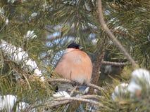 Bullfinch. Sitting on a Christmas tree branch Royalty Free Stock Photos