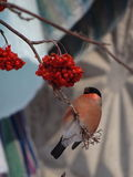 Bullfinch. Sitting on a Christmas tree branch royalty free stock photos