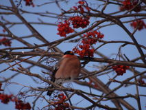 Bullfinch. Sitting on a Christmas tree branch Royalty Free Stock Images