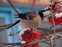Bullfinch. Sitting on a Christmas tree branch stock image