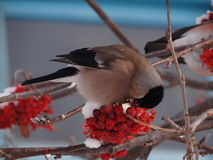 Bullfinch. Sitting on a Christmas tree branch stock photos