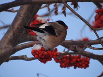 Bullfinch. Sitting on a Christmas tree branch royalty free stock photo