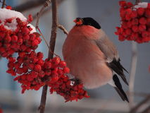 Bullfinch. Sitting on a Christmas tree branch royalty free stock image