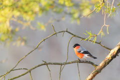 Bullfinch sitting on a sunlit branch Royalty Free Stock Photos