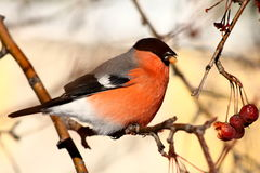 Bullfinch. Sitting on tree branch eating berries in winter Royalty Free Stock Photo