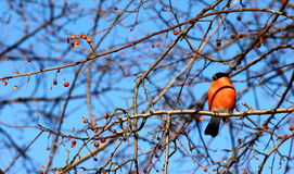 Bullfinch. Sitting on tree branch eating berries in winter Royalty Free Stock Images