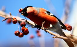 Bullfinch. Sitting on tree branch eating berries in winter Royalty Free Stock Photography