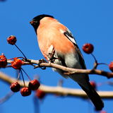 Bullfinch. Sitting on tree branch eating berries in winter Stock Image