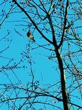 Bullfinch sitting on the tree royalty free stock photography