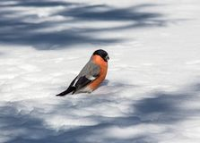 Bullfinch on the snow Stock Images
