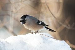 Bullfinch on snowdrift Royalty Free Stock Photography