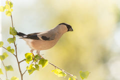 Bullfinch spring stretch Stock Images