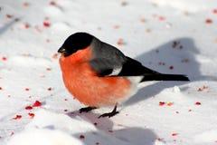 Bullfinch standing in snow. Male bullfinch in snow eating berries Stock Photography