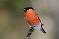 Bullfinch su una filiale Fotografia Stock