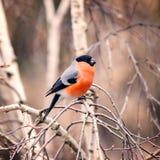 Bullfinch on the tree branch. Royalty Free Stock Photos