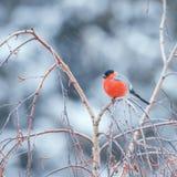 Bullfinch on the tree branch Royalty Free Stock Photo