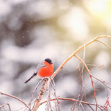 Bullfinch on the tree branch Royalty Free Stock Image