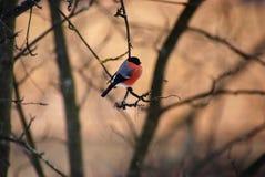 Bullfinch on the tree Stock Photography