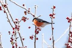 Bullfinch on the tree. Siberia Stock Photography