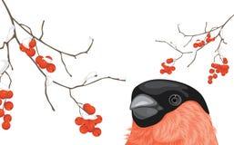 Bullfinch und schneebedeckte Ebereschenniederlassungen Lizenzfreies Stockfoto