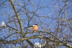 Bullfinch vermelho do pássaro que senta-se no ramo Fotografia de Stock Royalty Free