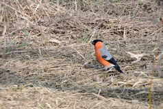 Bullfinch-Vogel Stockfotografie