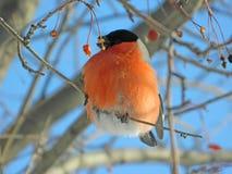 Bullfinch-Vogel auf Baum Stockfotografie