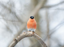 Bullfinch-Vogel mit der roten Brust, die im Wald sitzt Lizenzfreie Stockbilder