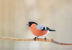 Bullfinch-Vogel mit der roten Brust, die im Wald sitzt Stockbild