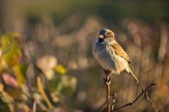 Bullfinch-Vogelabschluß hockte oben auf Busch im Sonnenschein Lizenzfreie Stockbilder