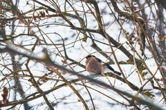 Bullfinch weiblich in der Natur auf Baumasten stockfoto
