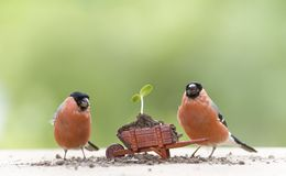 Bullfinch with a wheelbarrow with sunflower plant Stock Images