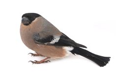 Bullfinch Royalty Free Stock Photography