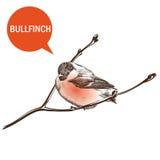 Bullfinch. On a white background vector handmade Stock Image