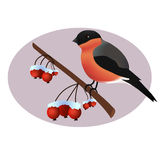 Bullfinch on wild arrle tree branch. Bullfinch vector illustration Stock Photos