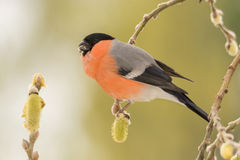 Bullfinch on willow branches. Profile and close up of  male bullfinch on willow  branches with flowers Royalty Free Stock Photography