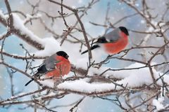 Bullfinch Winter Birds Royalty Free Stock Images