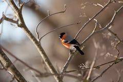 Bullfinch in winter day Stock Image