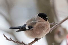 Bullfinch in winter day. The female bullfinch sits on a mountain ash branch Stock Images