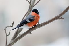 Bullfinch in winter day. The male bullfinch sits on a mountain ash branch Royalty Free Stock Images