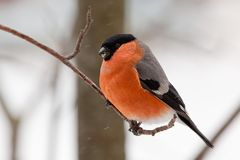 Bullfinch in winter day. The male bullfinch sits on a mountain ash branch Royalty Free Stock Photo