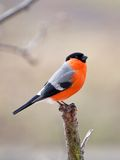 Bullfinch in winter day Stock Photos