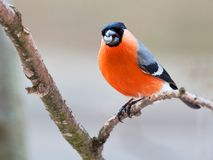 Bullfinch in winter day. The male bullfinch sits on a mountain ash branch Royalty Free Stock Photos